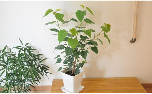 【A88】菩提樹の分木 スリーマハーボダイジュ苗