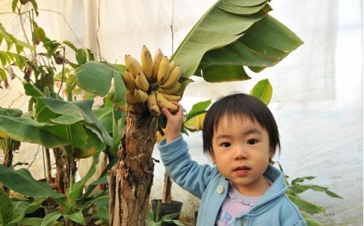 【C29】自宅でバナナ栽培!ドワーフ・モンキーバナナ苗