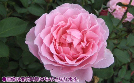 B0-144 バラ鉢植え「ヒーリング」