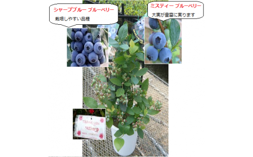 H004 2品種大実ブルーベリー鉢植え(2本植)【母の日に】