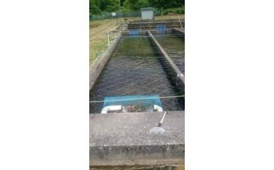 イトウのオーナー!?淡水魚養殖池年間オーナー権