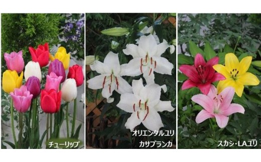 【F-07】チューリップ・ユリ球根セット