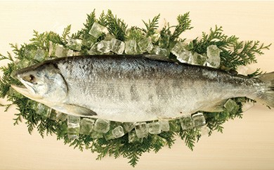 【数量限定】極撰 銀毛鮭の新巻き(半身)