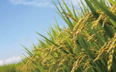 【頒布会】白河浪慢  有機栽培米  ひとめぼれ<農薬:栽培期間中不使用>5kg(2.5kg×2袋)×12回
