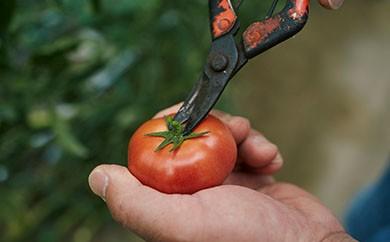 トロピカルトマト