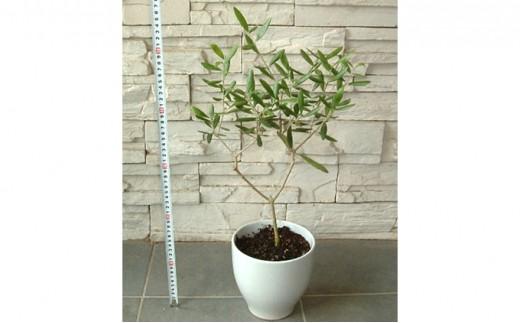 [№4631-1327]インテリアに最適の観葉植物!! 香川県の県木「オリーブの木」