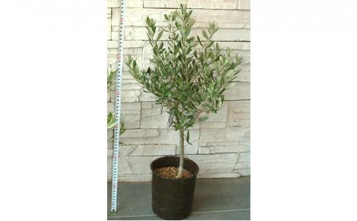 [№4631-1328]【高級】インテリアに最適の観葉植物!!香川県の県木「オリーブの木」
