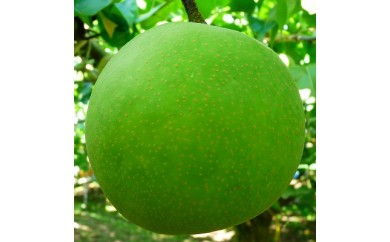 【受付終了】【013】二十世紀梨(ご家庭用 小玉(3キロ)やぶやフルーツガーデン)