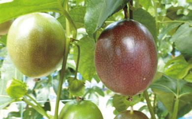 亜熱帯果実 パッションフルーツ