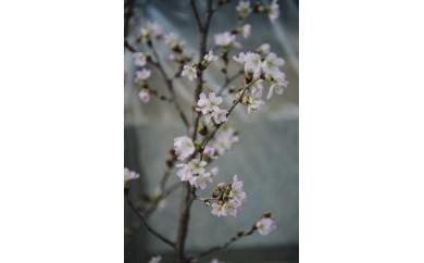 RAKUSA 桜花木(啓翁桜)