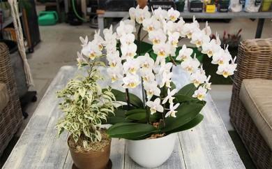 [№5653-0223]胡蝶蘭5本立ちと観葉植物のセット