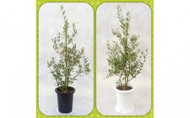 [№5672-0188]プロが選ぶ観葉植物~平和のシンボル オリーブ~ 8号鉢
