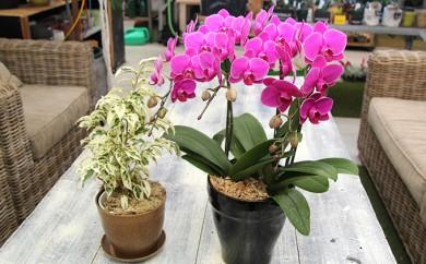 [№5653-0224]胡蝶蘭3本立ちと観葉植物のセット