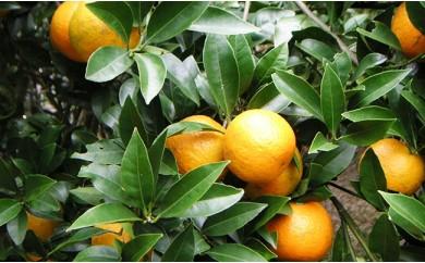 【数量・期間限定】沖縄果実たんかん 約10kg