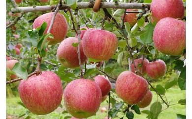 食べると思いだす初恋の味 りんご/シナノスイート2kg(5玉~6玉)
