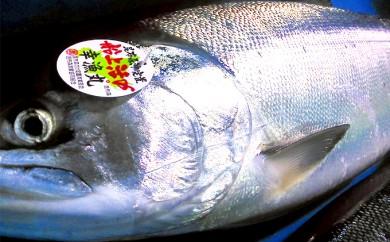[№5766-0189]釧路町昆布森産 時鮭(ときしらず)3kg前後