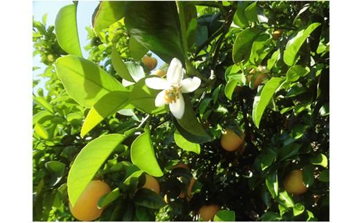 C06-Nみかんの花咲く頃・収穫体験