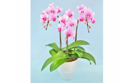 No.153 ミディ胡蝶蘭(ピンク系品種)3本立 1鉢