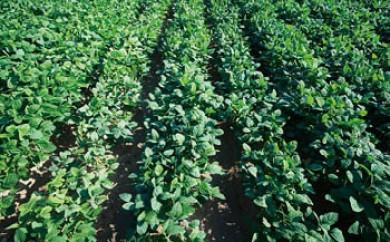 茶豆(枝豆)オーナー制度(枝豆収穫体験)