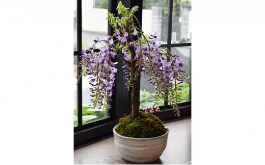 [№5545-0048]【季節限定】藤盆栽(出荷時期1月7日~4月30日)