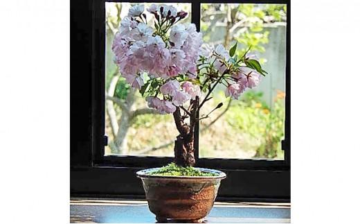 [№5545-0049]【季節限定】桜盆栽(出荷時期1月7日~4月30日)