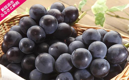 大房!温室ニューピオーネ(約2kg 愛媛産) 種なし芳醇深いコク!黒ぶどう特有の豊かな甘み 安心のプロ選別品です ≪旬にお届け品≫