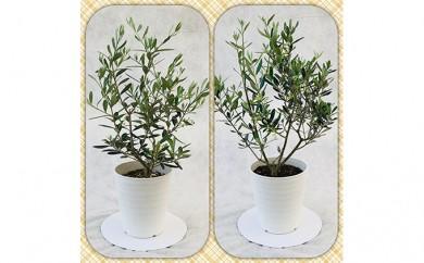 [№5672-0196]プロが選ぶ観葉植物~平和のシンボル オリーブ~ 5号鉢