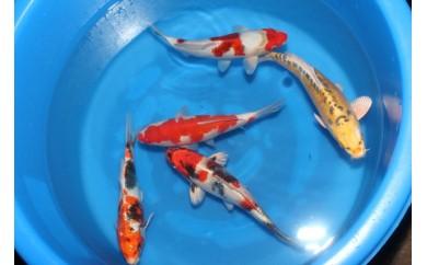 錦鯉MIX(約30~35㎝)5尾セット