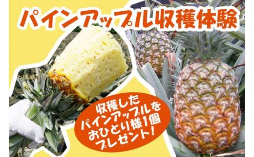 【沖縄県東村】パインアップル収穫体験&食べ放題(品種:N67-10)