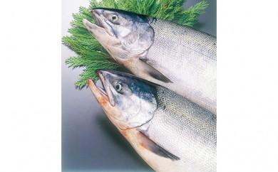 [№5901-0350]北海道礼文島前浜産 新巻鮭(姿)丸ごと1匹お届け!