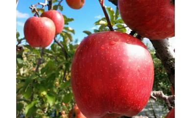 [№5921-0075]旬のおすすめ林檎 約3kg×1箱(目安:7~9玉)【結城果樹園】