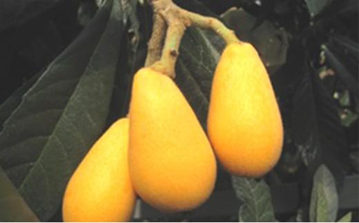 [№4631-1356]初夏の果実「びわ」2kg