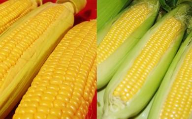 [№5724-0208]【朝採り】とうもころし(キャンベラと恵味ゴールド)2種 食べくらべセット