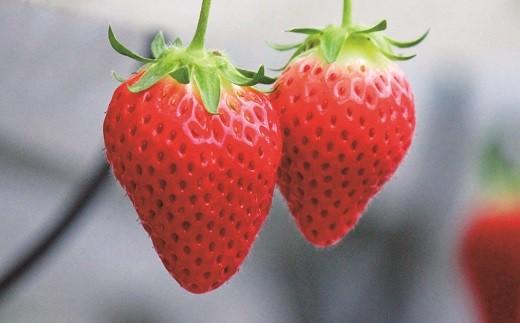 C-13季節のフルーツ いちご食べ比べセット