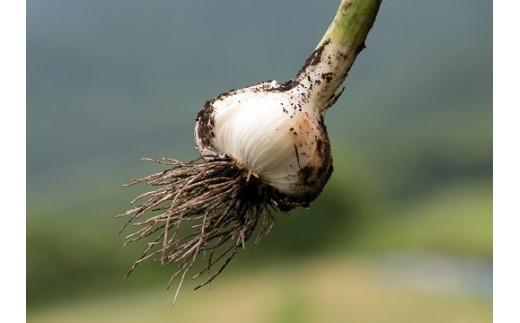 熟成前の生にんにくは、こだわりの土で栽培されています!