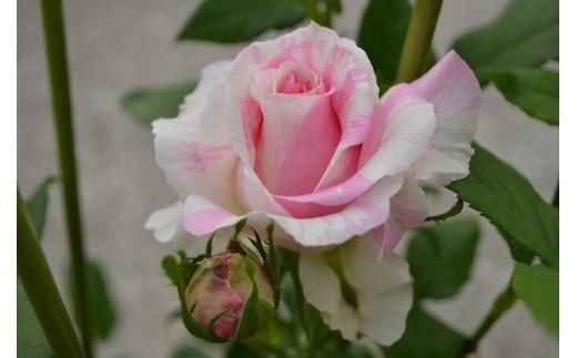 北川村「モネの庭」から。薔薇<クロード・モネ>【北川村モネの庭マルモッタン】
