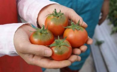 <限定>ミネラル豊かな「オホーツク塩トマト」