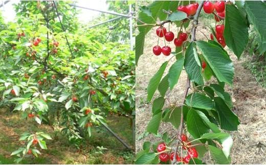 FY18-131 【先行予約】サクランボの木のオーナー権