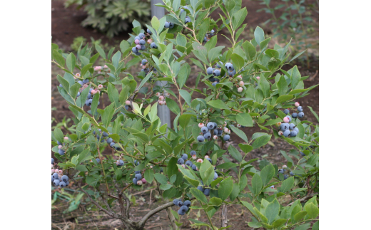 SA7 三郷のブルーベリー収穫体験