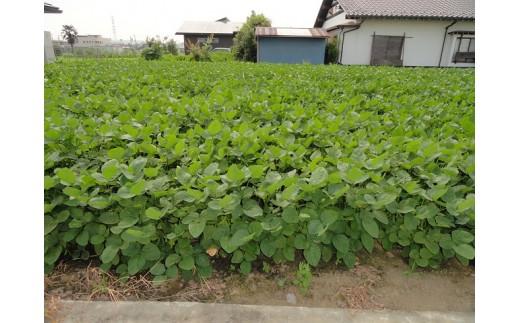 SA4 三郷の枝豆収穫体験