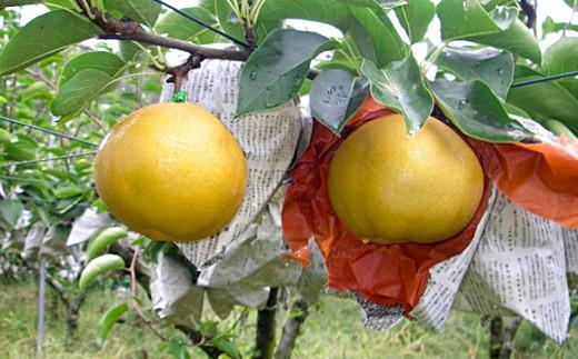 655.山陰浜田から収穫期にこだわった訳あり木熟赤梨(新高、新興、愛宕)6kg