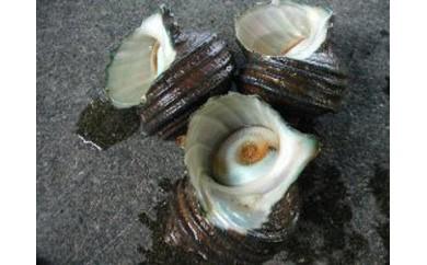 『天然ものは、最高級のステータス!』瀬戸内海産活きサザエの大サイズ