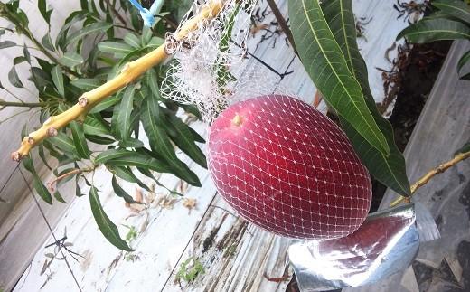 アーウィン種です!果皮が赤く、かわいい卵型。 自然落下をやさしく受け止めるネット。このおかげで完熟になるんです。