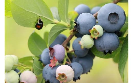 10SA22完熟ブルーベリー700g生果