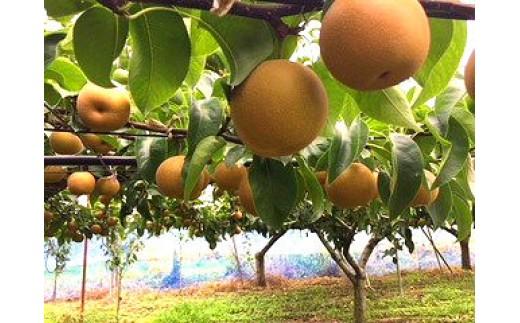 AO-5 柳原果樹園の梨(豊水)5kg