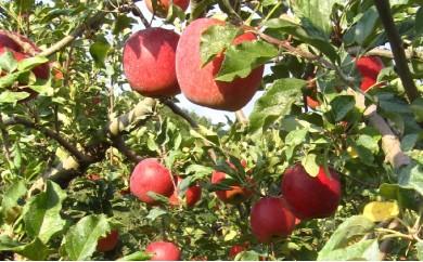 [№5737-0171]りんご「シナノスイート」 約5kg