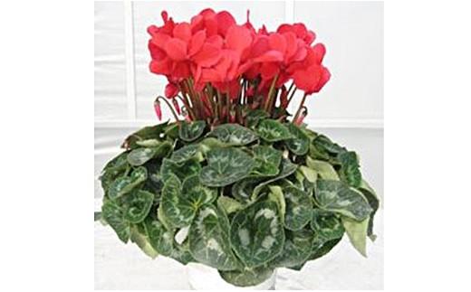明和の冬の花「シクラメン」 5号鉢 赤