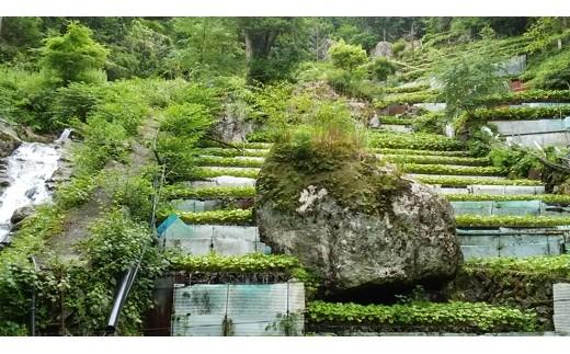 396 静岡県特産2つの世界農業遺産「静岡の茶草場農法」の深蒸し掛川茶と「静岡水わさび伝統栽培」のワサビ5点詰合せ
