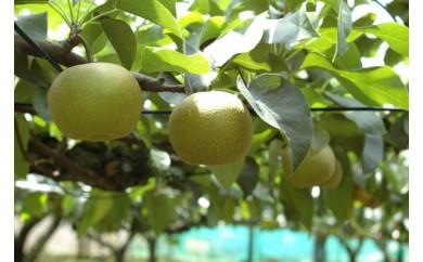 【限定80箱】松戸の完熟梨「豊水」5kg