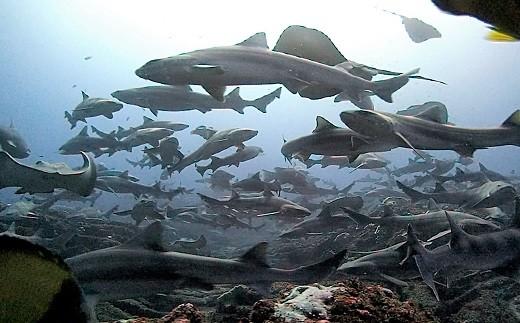伊戸のサメはおとなしいドチザメが主です。
